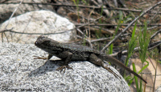 Western (Great Basin) Fence Lizard